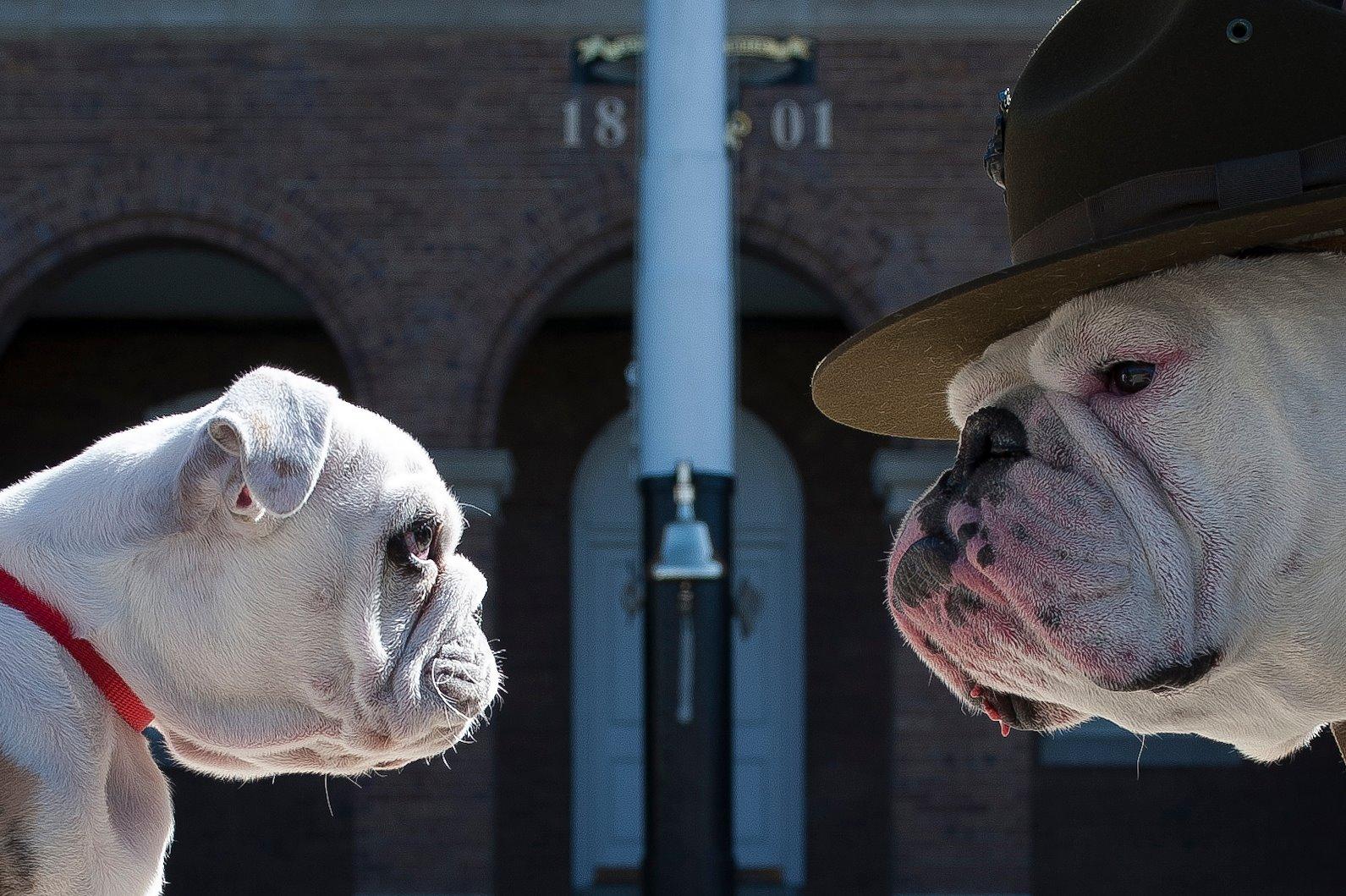 Sgt. Chesty the Bulldog retiring as Marine Corps mascot ...