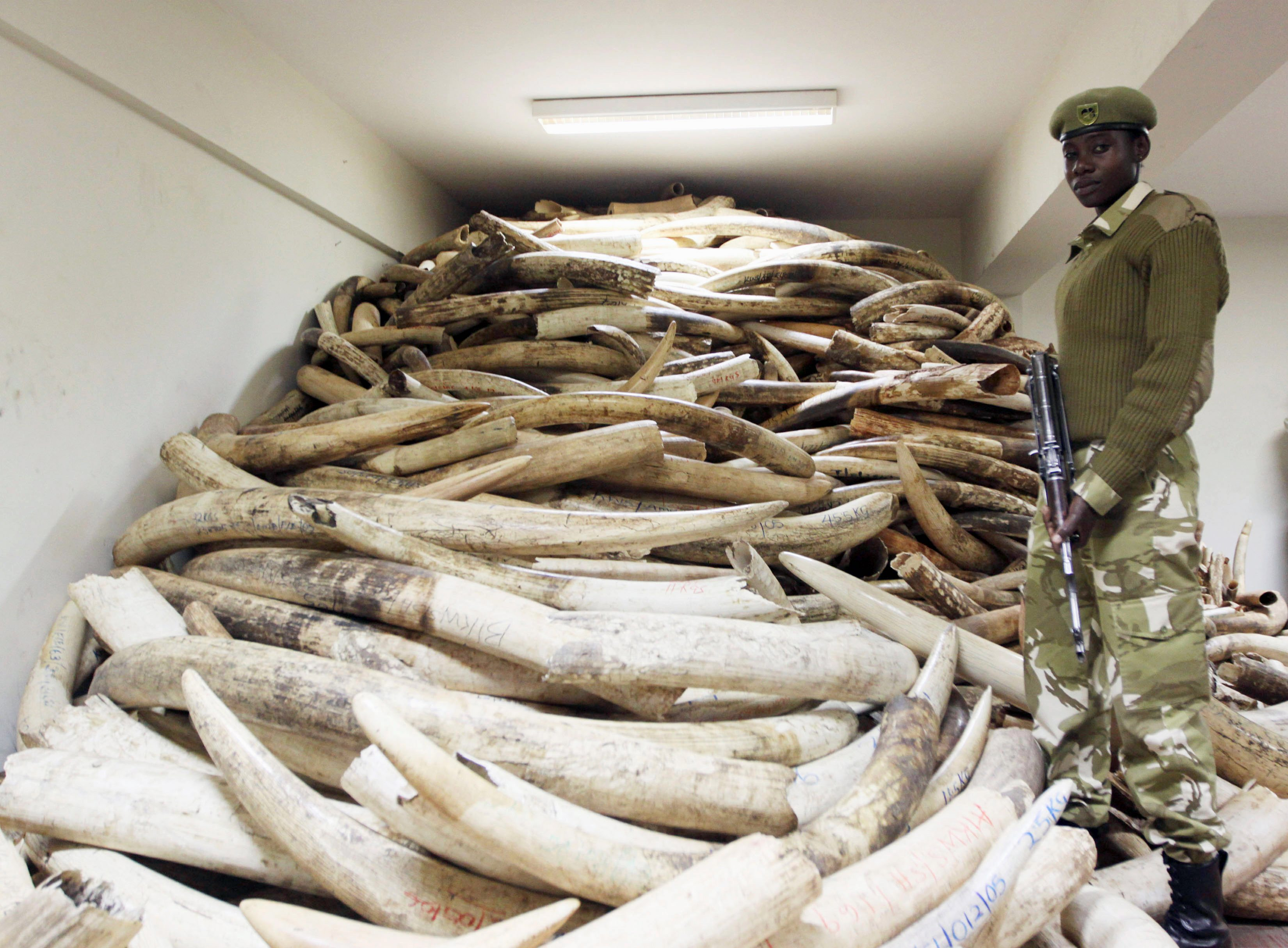 Terrorists slaughter African elephants, use ivory to finance operation