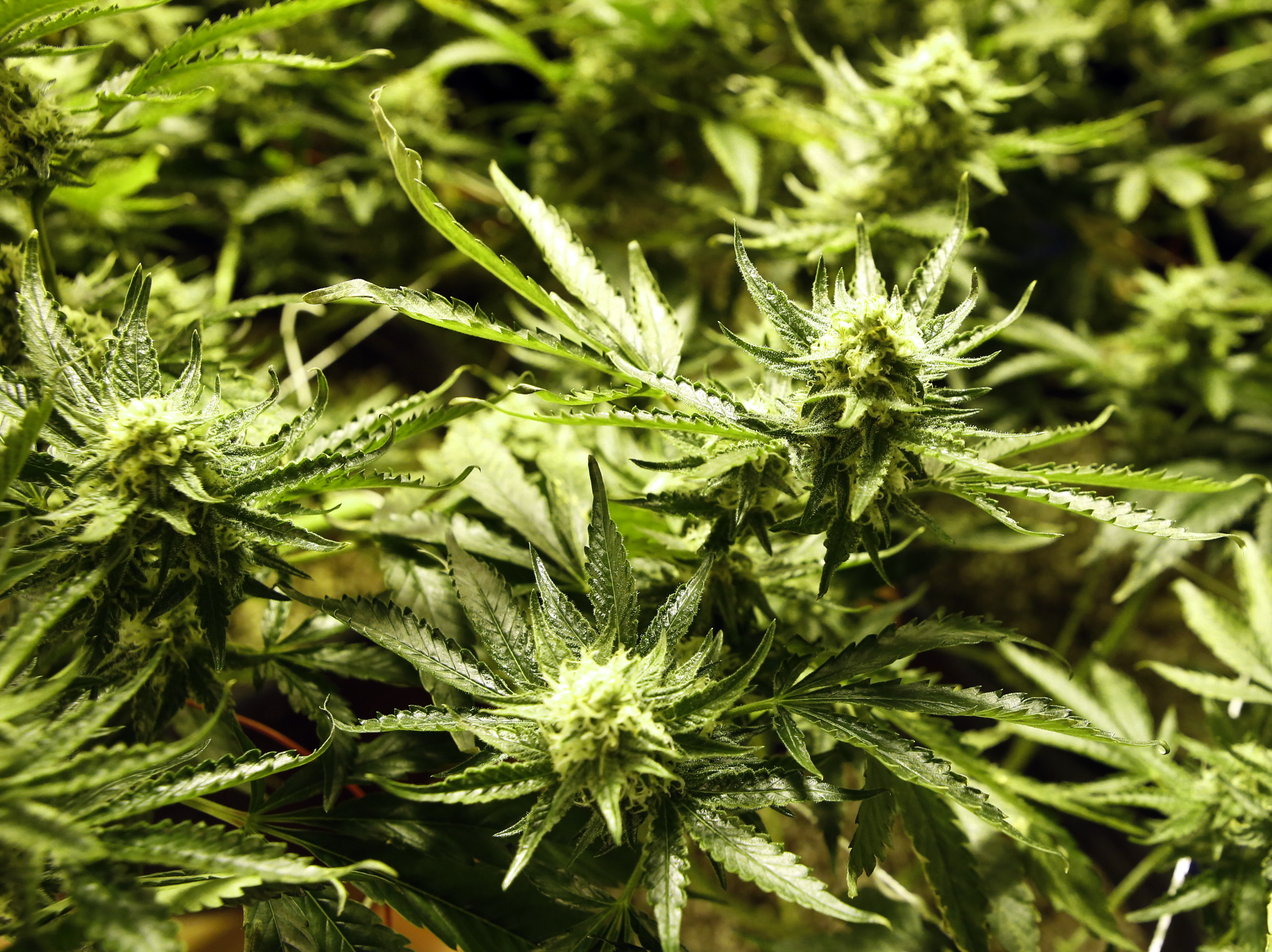 Colorado cops trawling Craigslist for illegal marijuana sales - Washington Times